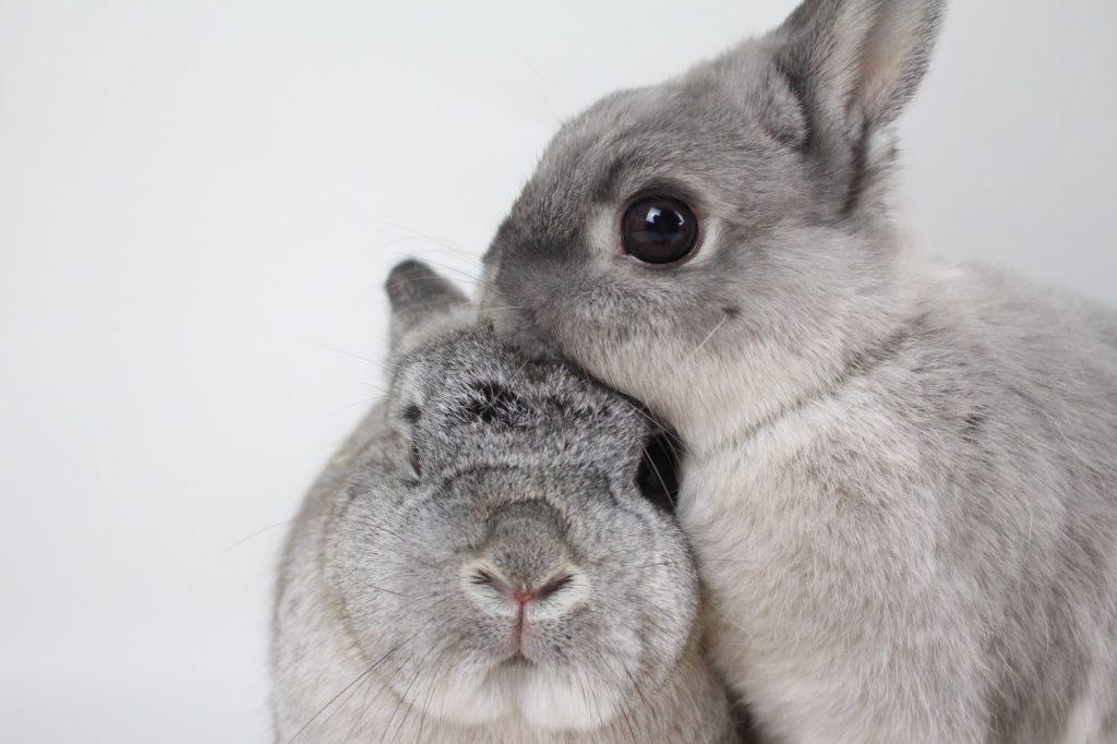 Há dois coelhos cinzas na foto, um dele de frente para a câmera e o outro apoia sua cabeça na do primeiro.
