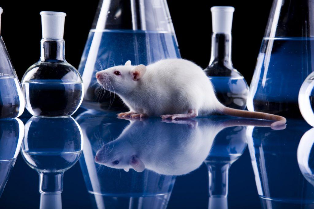 Em uma mesa de laboratório, com uma luz azul, vemos um camundongo branco ao lado de beckers e recipientes.